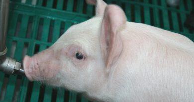 Schweinepest: Auch Folgen für heimische Bauern